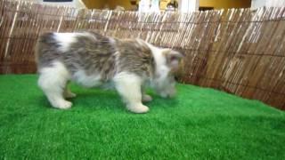 http://www.pets-hop.com ちょっと珍しい、コーギーとシェルティのミッ...
