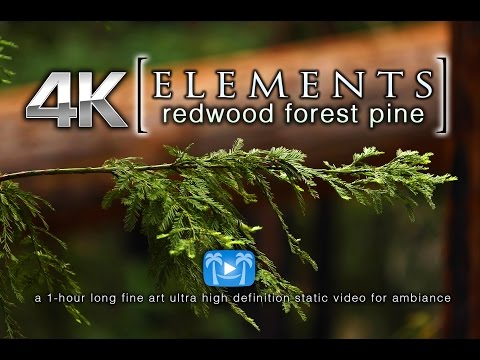 Redwood Forest Pine Tree 4K | ELEMENTS Fine Art Static Ambiance Video by Nature Relaxation
