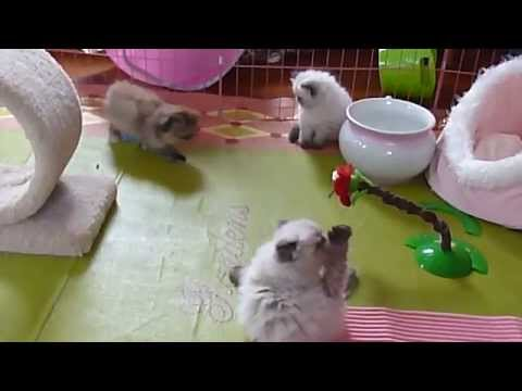 Pansy's 6 1/2 Week Old Rambunctious Persian and Himalayan Kittens  Nov 2, 2014