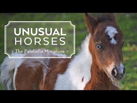 Unusual Horses: Falabella Miniature