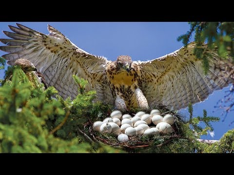 Mom Hawk Breed Making A Nest On Tree And Laying Eggs
