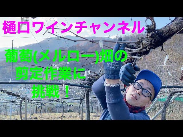 葡萄(メルロー)畑の剪定作業に挑戦!