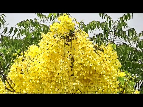 Herbal medicine Tree Golden shower or Cassia fistula or Amaltas Flowering in summer
