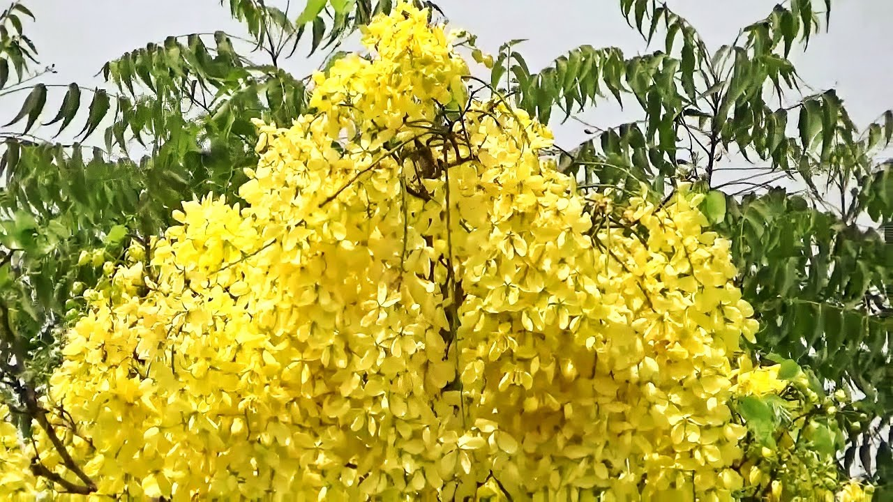 Herbal Medicine Tree Golden Shower Or Cassia Fistula Or Amaltas