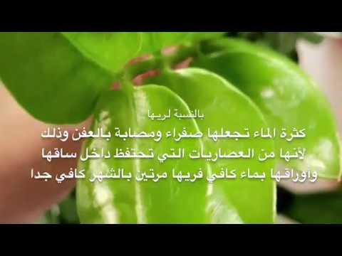 معلومات عن نبات الزاميا الداخلي والعناية به Youtube