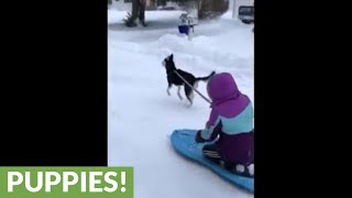 Husky pulls kid on sled down the street