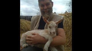 Продаю козлят и молочных коз занинской породы и метисов
