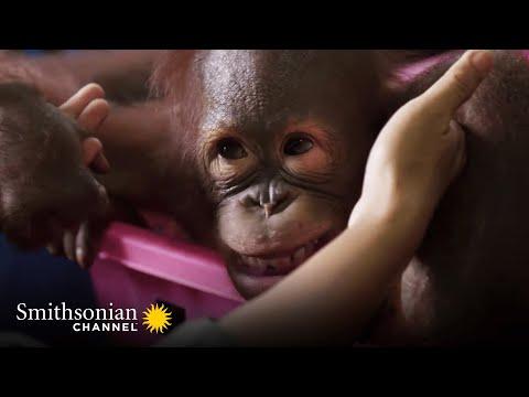 Orangutan Jungle School: Teaching Orangutans How to Be