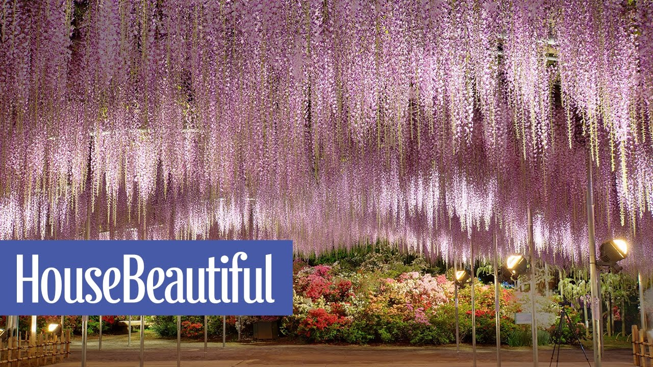 This Wisteria Flower Tunnel In Japan Is The Most Magical Place - Beautiful wisteria plant japan 144 years old