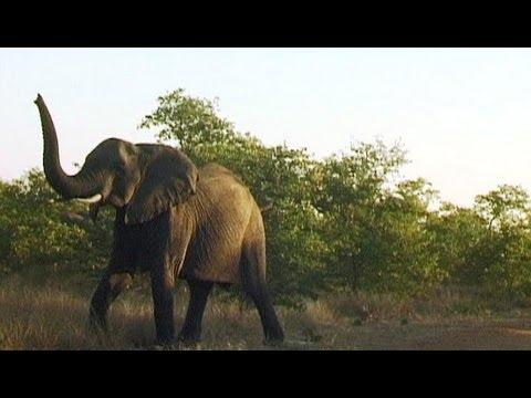 Elephant with baby attacks car in Kruger. Listen to its loud trumpeting sound.