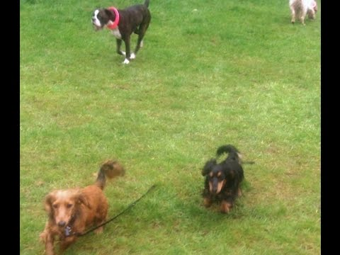 Boxer Bridie, Daschunds Fin & Dug, English Setter Otis & Peppa having a ball.