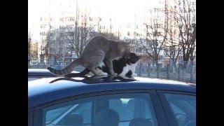 Любовь котов на автомобиле
