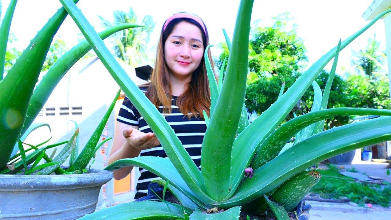 Yummy Aloe Vera Jelly Cooking Aloe Vera Jelly Cooking With Sros Youtube