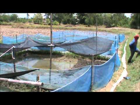 Thailand Frog Farms