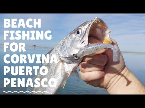 Beach Fishing For Corvina In Puerto Penasco Mexico (Rocky Point)