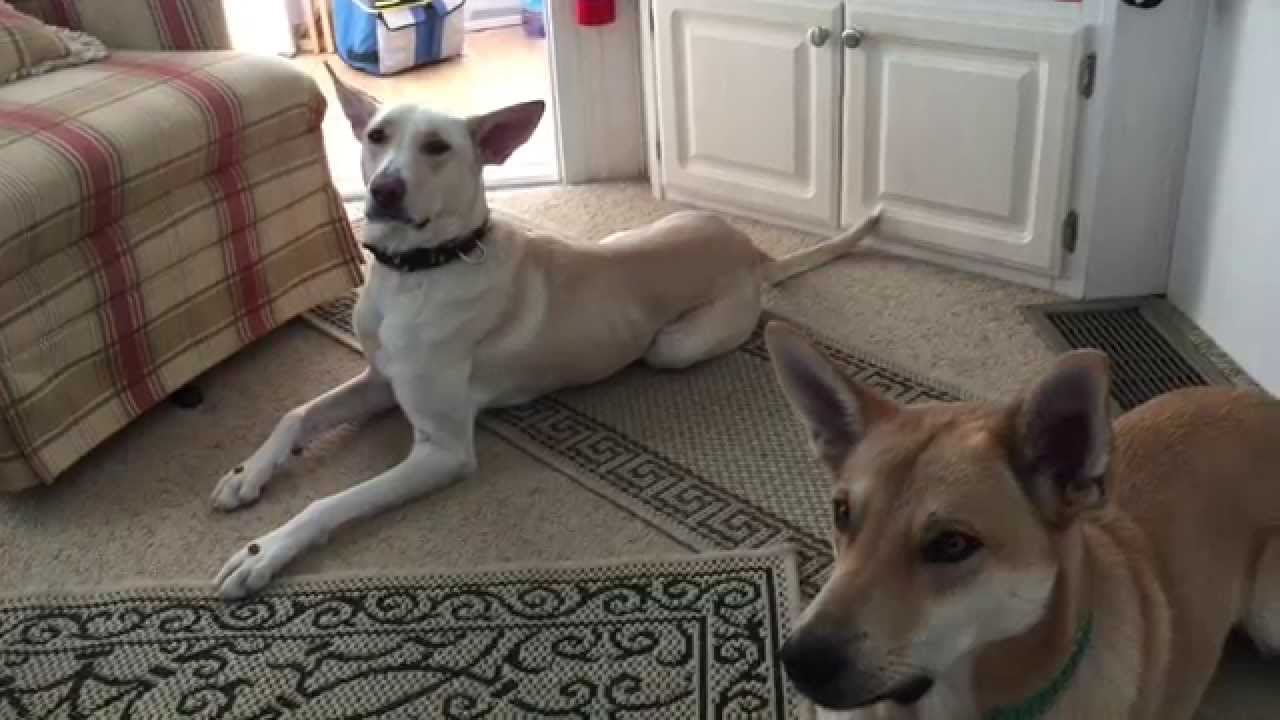 American Dingo Keeka and Rocco Carolina Dogs sitting in place for treats