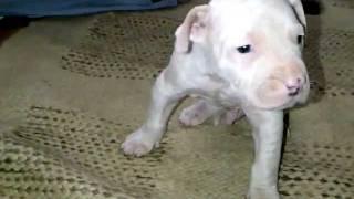 Pakistani Bull Terrier/ Gull Terr
