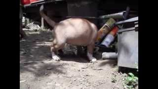日本のオールドイングリッシュブルドッグ。 元気いっぱいのメス。 http:...