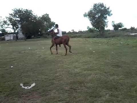 Kuda liar ( Gangster )