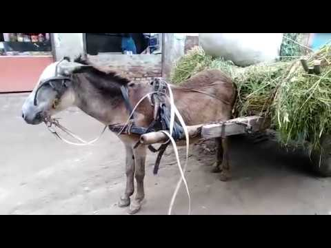 Super Murrah Male Donkey Meeting Try First Time 2019