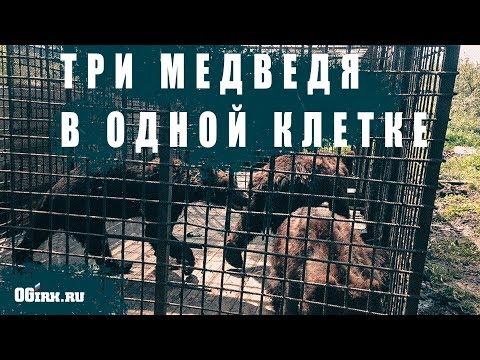 Трех медведей в клетке взял под опеку глава Шелехова