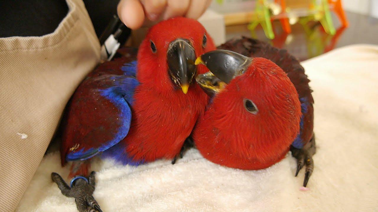 【えとぴりかNAGOYA本店】ニューギニアオオハナインコの女の子【オオハナインコ・Ecletus parrot】