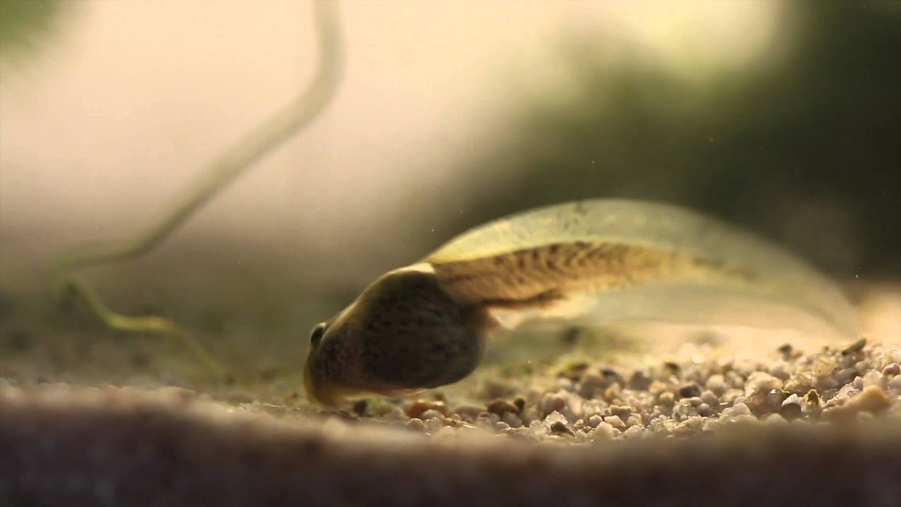 tadpole to frog youtube