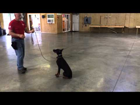 Doberman Male 6 Months Old 'Sonic' Obedience Protection Trained For Sale
