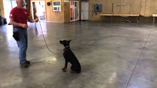 "Doberman Male 6 Months Old ""sonic"" Obedience Protection Trained For Sale"
