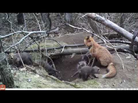 Fox And Coyote Research At Fort Drum, N.Y.
