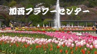 兵庫県立フラワーセンター(加西市) 約500品種の国内最大級のチューリ...