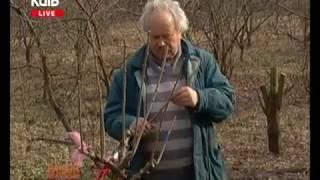 видео Окулірування плодових дерев