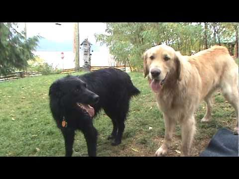 Flat Coated Retriever VS Golden Retriever PLAY