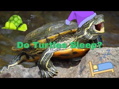 Is My Turtle Sleeping Or Dead??
