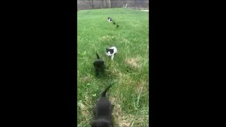 Adorable Kittens Train Walking Toward Owner Followed by Their Mom