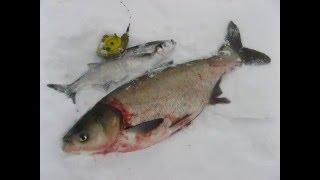 рыбалка зимой Рыбалка на гирлянду - Толстолобик на гирлянду