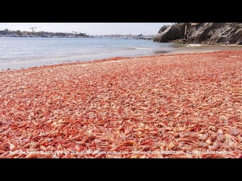 Red Crabs Wash Up In Newport Beach And At Other Orange County Beaches - News Video Orange County