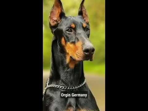 Doberman Pinscher,Dog,