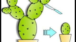 Пейот: черенкование кактуса №1