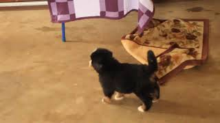 Bernese Mountain Dog Puppies For Sale Abner Stoltzfus
