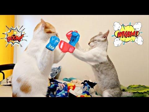 ✰BOXING FIGHT of the CENTURY!!✰ Kitten VS. CAT 😹🥊😾