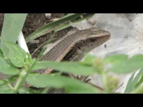 Laufuman(Vietnam Fish And Lizard)
