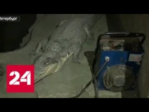В Петербурге полицейские искали оружие, а нашли крокодила Геннадия - Россия 24