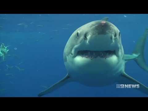 Shark Record   9 News Perth