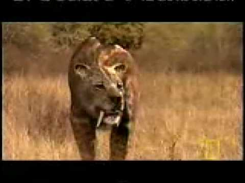 Smilodon Youtube