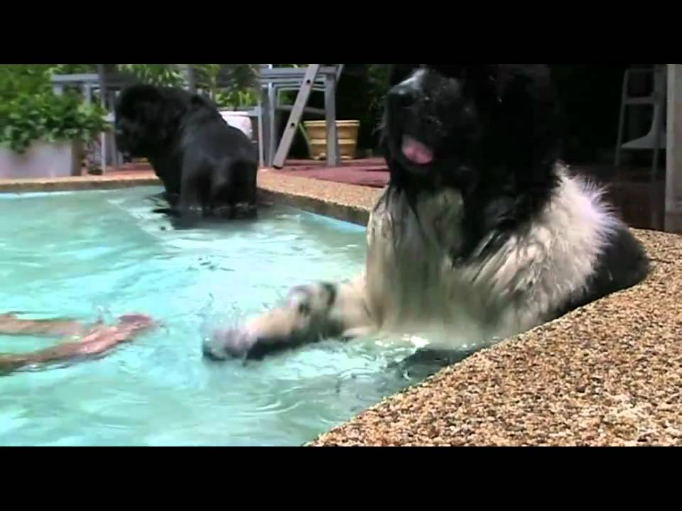 rocky otto and augustus the landseer swimming youtube. Black Bedroom Furniture Sets. Home Design Ideas