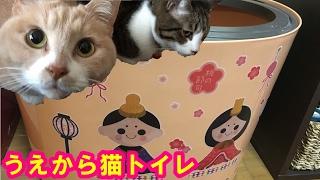 うえから猫トイレを桃の節句バージョンに模様替え♪ ♀猫こむぎ&♂猫だい...