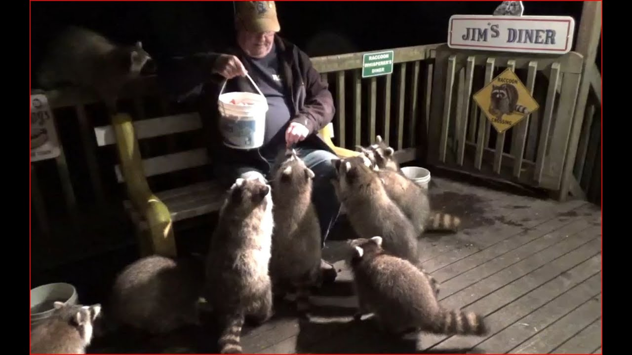 Mobbed by many raccoons