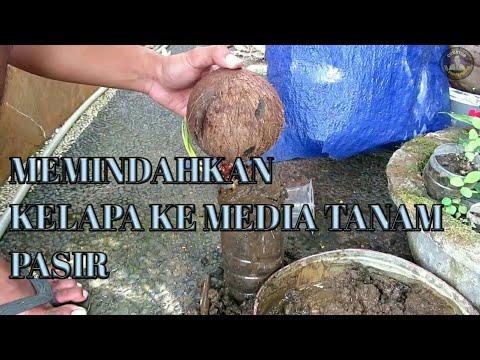 Bonsai Kelapa Media Air Pindah Ke Media Pasir Youtube