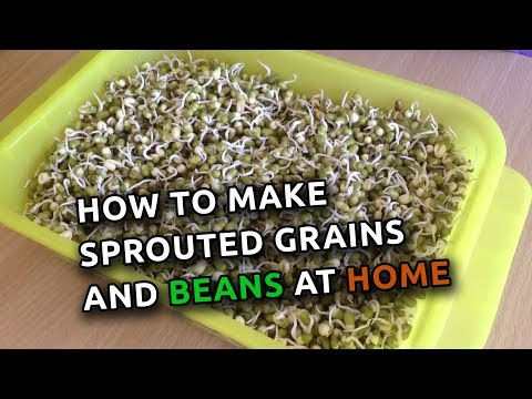 Sprouting Wheat and Mung Beans